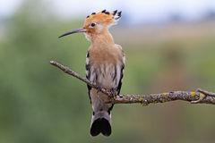 Hoopoe sitting on a dry branch Royalty Free Stock Images