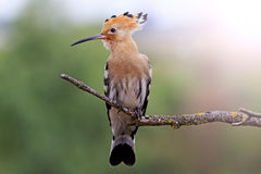 Hoopoe sitting on a dry branch with sunny hotspot Stock Photography