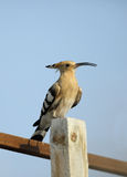 Hoopoe sitting on log Royalty Free Stock Images