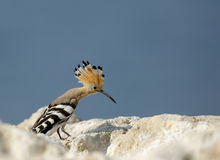 Hoopoe sitting on the rock Royalty Free Stock Photos