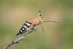 Hoopoe song Royalty Free Stock Photography