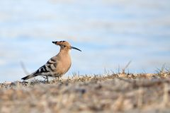 Hoopoe. The hoopoe stands on winter grassland. Scientific name: Upupa epops Royalty Free Stock Photo