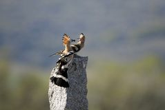 Hoopoe in stone Royalty Free Stock Image