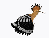 Hoopoe stretching. A bird stretching its wing Royalty Free Stock Photo