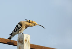 Hoopoe stretching its neck Royalty Free Stock Photography