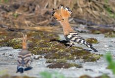 Adult Hoopoe taking away with his child on the soil stock image
