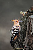 Hoopoe on a Tree Royalty Free Stock Photography