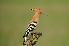 A hoopoe Royalty Free Stock Photo
