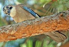 Hoopoe un pájaro que mira abajo Imágenes de archivo libres de regalías