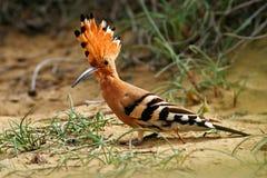 Hoopoe, Upupa die epops, in het zand, vogel met oranje kam, Spanje zitten Mooie vogel in de aardhabitat Dier van Souther Royalty-vrije Stock Afbeelding