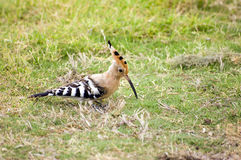Hoopoe ( upupa epops ) Royalty Free Stock Photography