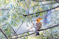Hoopoe (Upupa epops) Stockfotos