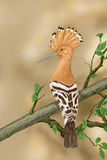 Hoopoe, Upupa epops Royalty Free Stock Image