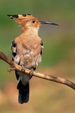 The Hoopoe (Upupa Epops) Royalty Free Stock Photography
