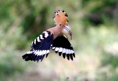Hoopoe /Upupa epops/. Feeding process of the hoopoe Royalty Free Stock Image