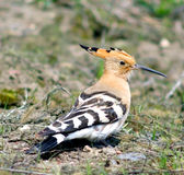 Hoopoe ( Upupa epops ) Stock Photo