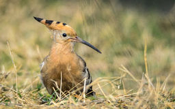 Hoopoe (Upupa epops) Royalty Free Stock Photo