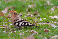 Hoopoe Royalty Free Stock Image