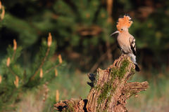 Hoopoe. Upupa epops. Stock Images