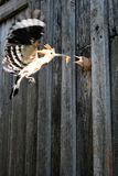 The hoopoe Upupa epops with mole cricket flies to feed the nestling stock images