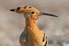 Hoopoe, Upupa epops, portrait of rare bird with crest and long bill, Bulgaria Stock Image