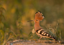 Hoopoe (Upupa epops) Royalty Free Stock Image