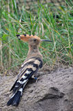 Hoopoe. (upupa epops) in the sand Stock Images