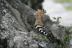 Hoopoe, Upupa epops Stock Photo