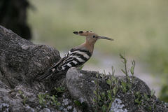 Hoopoe, Upupa epops Royalty Free Stock Images