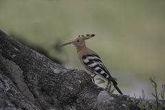Hoopoe, Upupa epops Royalty Free Stock Photography