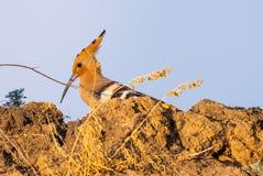 Hoopoe, Upupa epops, sitting on ground, bird with orange crest. stock image