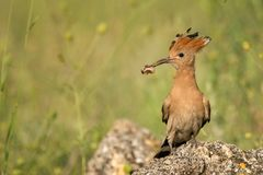 Hoopoe Upupa epops sitting on a stone with a prey in its beak.  Royalty Free Stock Images