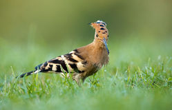 Hoopoe ( Upupa epops) Stock Images