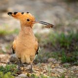 The hoopoe Upupa epops stands with prey in beak royalty free stock image