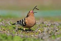 Hoopoe, Upupa epops, Vogel mit offener Rechnung mit Lebensmittel, Gran Canaria Lizenzfreie Stockfotos