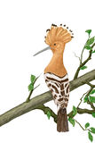 Hoopoe, Upupa epops on white background. Crested hoopoe sitting on a tree branch, Illustration Royalty Free Stock Images
