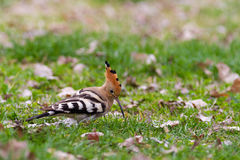 Hoopoe or upupa Stock Images