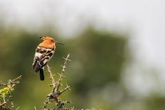 Hoopoe (Upupaafricanis) Arkivfoton