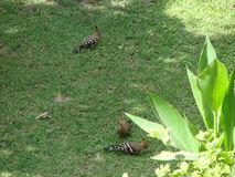 Hoopoe-Vögel Stockfotos