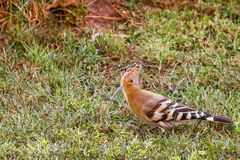 Hoopoe walking on grass. Side view of a hoopoe walking on grass Royalty Free Stock Images