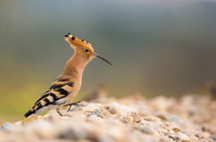 Hoopoe walking on stony ground Stock Photo