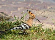 Hoopoe, welche nach Insekten im Gras sucht Stockfotos