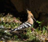 Hoopoe, welche nach Insekten im Gras sucht Lizenzfreie Stockbilder