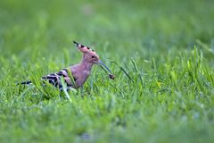 Hoopoe with a worm Stock Images