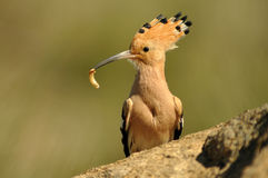 Hoopoe with a worm in its beak Royalty Free Stock Image
