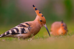 Hoopoe & x28; Epops& x29 do Upupa; olhar fixamente Fotos de Stock Royalty Free
