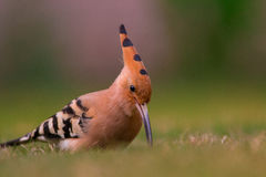 Hoopoe (Upupa epops) staring with prey Stock Images