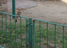 Hoopoe in the yard. Hoopoe foraging in the yard near town house Royalty Free Stock Image
