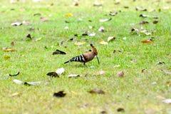 Hoopoefågel Arkivbild