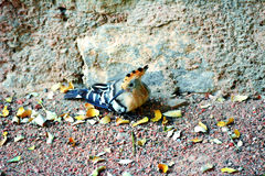 Hoopoefågel Royaltyfri Fotografi
